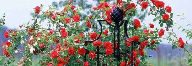 A stunning red climbing rose display on the classic garden obelisk II | Classic Garden Elements Ireland - Tel 087-2306128