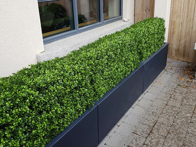 Medium Boxwood Hedging in Front garden, Clonskeagh, Dublin